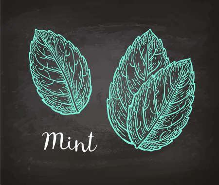 Chalk sketch of mint leaves on blackboard background. Hand drawn vector illustration. Retro style.