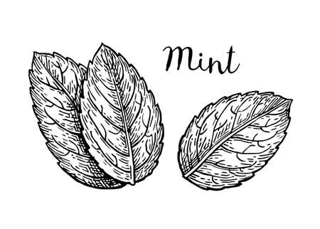 Ink sketch of mint leaves. Isolated on white background. Hand drawn vector illustration. Retro style.