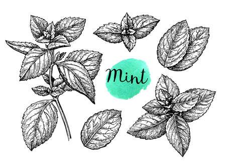 Retro-Stil Tintenskizze von Minze. Getrennt auf weißem Hintergrund. Handgezeichnete Vektor-Illustration.