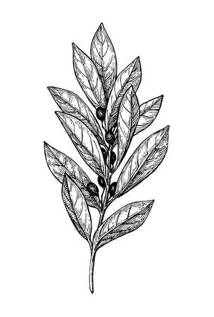 Bay laurel ink sketch. Illustration
