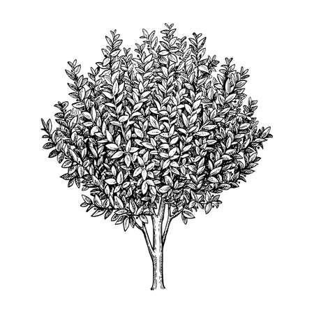 Illustrazione dell'albero di alloro della baia. Archivio Fotografico - 84680235