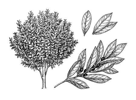 ベイ月桂樹の木、枝と葉。  イラスト・ベクター素材