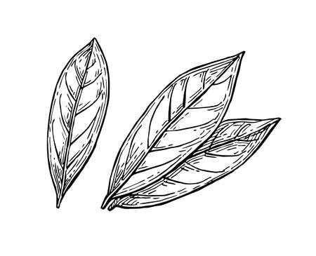 月桂樹の葉インク スケッチ  イラスト・ベクター素材