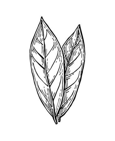 月桂樹の葉はインク スケッチです。白い背景上に分離。手には、ベクター グラフィックが描画されます。レトロなスタイル。