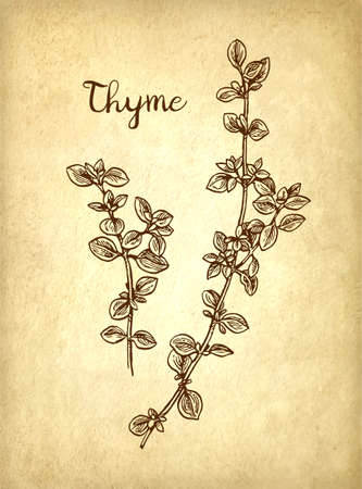 phytology: Thyme ink sketch