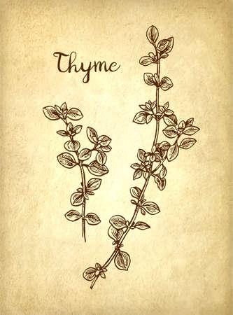 Thyme ink sketch