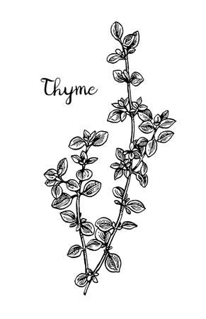Thyme ink sketch.
