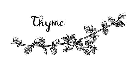 phytology: Thyme ink sketch.