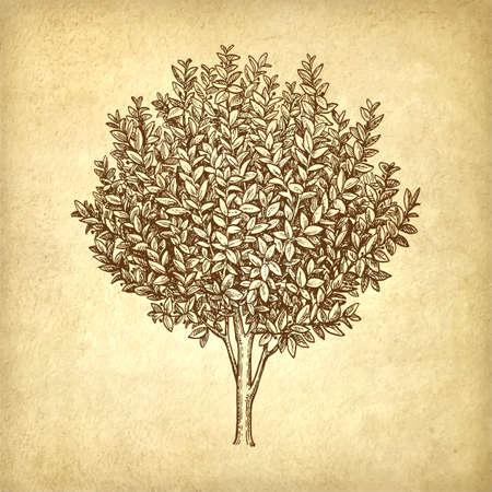 phytology: Bay laurel tree. Illustration