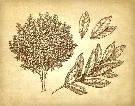 phytology: Bay laurel tree, branch and leaves.