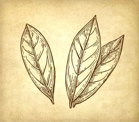 phytology: Bay leaves ink sketch. Illustration