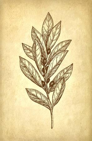 Bay laurel branch.