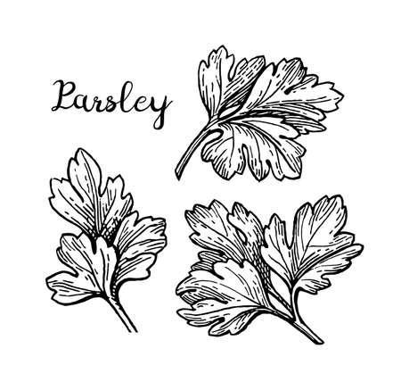 Parsley ink sketch 向量圖像
