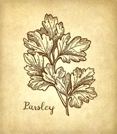 Parsley ink sketch Ilustração