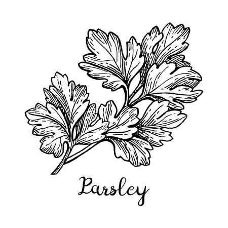 Parsley ink sketch Иллюстрация
