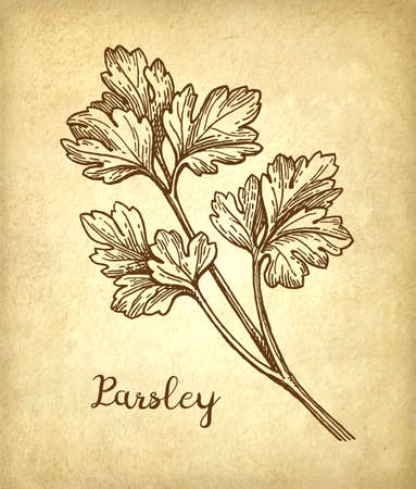 Parsley ink sketch