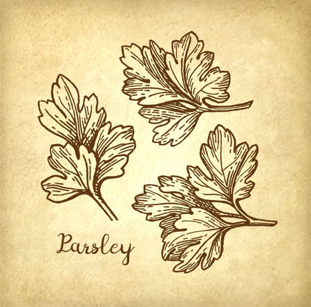 Parsley ink sketch Illustration