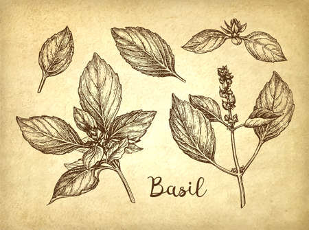 Basil set sketch Illustration