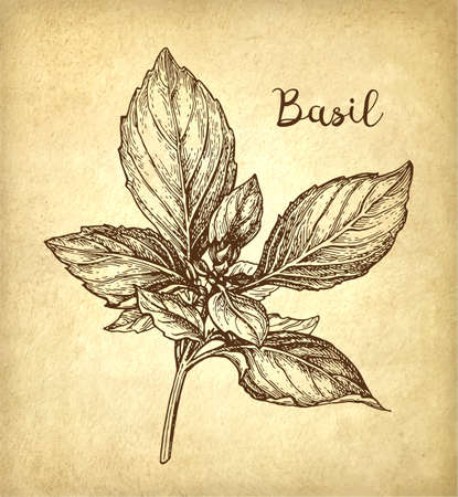 Basil ink sketch on old paper background. Hand drawn vector illustration. Retro style.