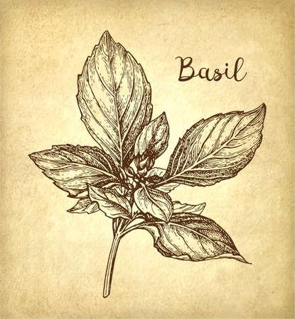 Basil inkt schets op oude papier achtergrond. Hand getekende vectorillustratie. Retro stijl. Stock Illustratie