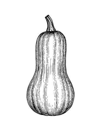 Inktschets van butternut squash geïsoleerd op een witte achtergrond. Hand getrokken vectorillustratie. Retro stijl. Stock Illustratie