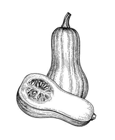 Bosquejo de la tinta de la calabaza moscada aislada en el fondo blanco. Dibujado a mano ilustración vectorial. Estilo retro.