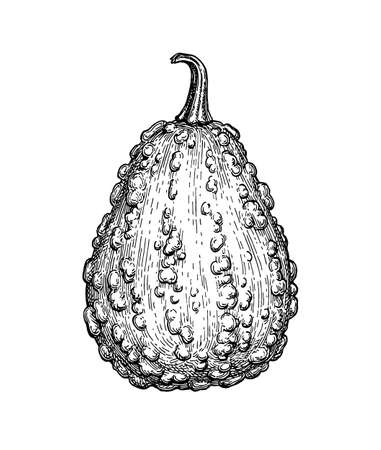Ink sketch of gourd isolated on white background. Hand drawn vector illustration. Retro style.