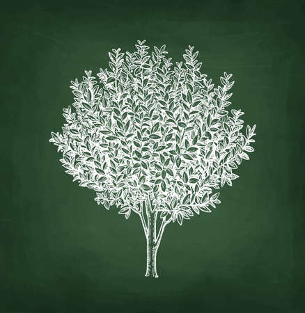 Bay laurel tree. Chalk sketch on blackboard background. Hand drawn vector illustration. Retro style.