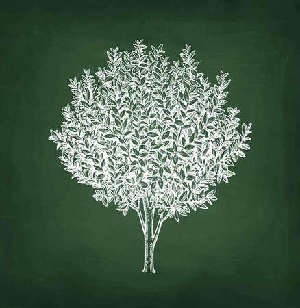 Bay laurel tree. Chalk sketch on blackboard background. Hand drawn vector illustration. Retro style.