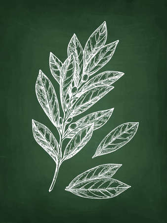 Bay laurel branch and leaves. Chalk sketch on blackboard background. Hand drawn vector illustration. Retro style. Иллюстрация