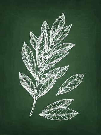 Lorbeerzweig und Blätter der Bucht. Kreideskizze auf Tafelhintergrund. Hand gezeichnete vektorabbildung. Retro-Stil.
