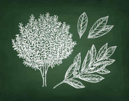 ベイ月桂樹の木、枝、葉、手描き、チョークを黒板背景にスケッチします。