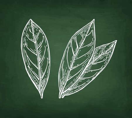 베이 나뭇잎, 손으로 그린, 칠판 배경에 분필 스케치.