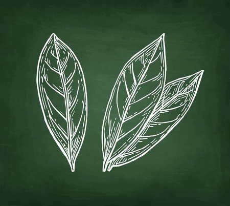 Bay leaves,  Hand drawn, Chalk sketch on blackboard background.