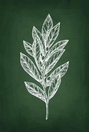 Bay laurel branch, Hand drawn, Chalk sketch on blackboard background.