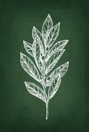 Bay laurel branch, Hand drawn, Chalk sketch on blackboard background.