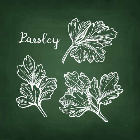 Chalk sketch of parsley on blackboard background. Hand drawn vector illustration. Retro style.