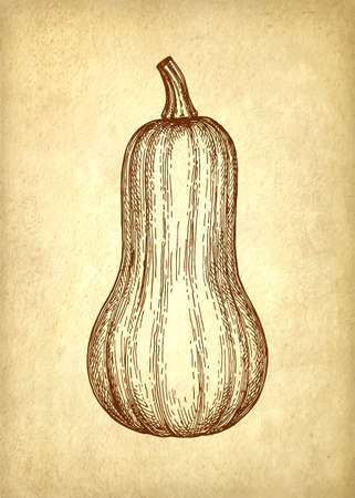 Ink sketch of butternut squash.