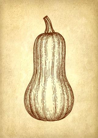 Ink Skizze von Butternuss-Kürbis. Standard-Bild - 87113891