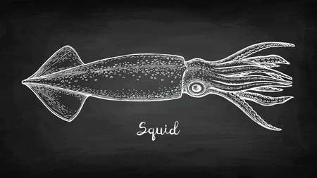 Chalk sketch of squid Vettoriali