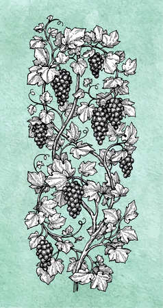 Hand drawn illustration of vertical grape Illusztráció