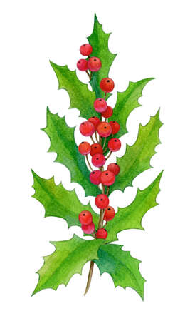 Branch of holly isolated on white background. Hand drawn watercolor illustration. New year and Christmas Holidays design.