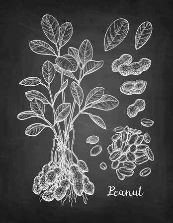 Chalk sketch of peanut.