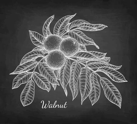 Chalk sketch of walnut branch on blackboard background. Hand drawn vector illustration. Retro style. Ilustração