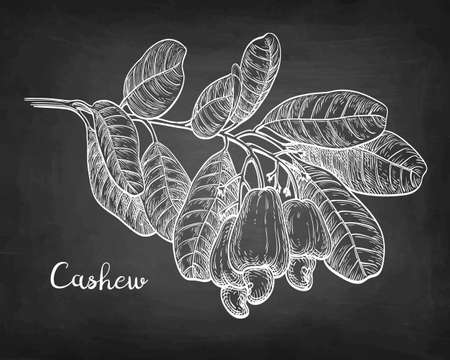 Chalk sketch of cashew