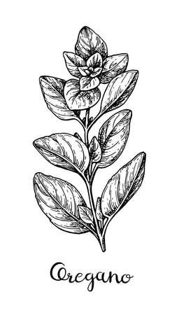 오레가노의 잉크 스케치입니다.