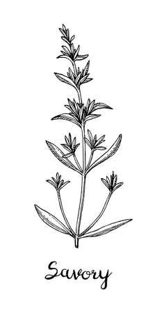 Ink sketch of savory.