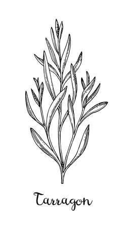 Ink sketch of tarragon. Vectores