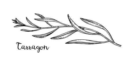 Ink sketch of tarragon. Ilustracja