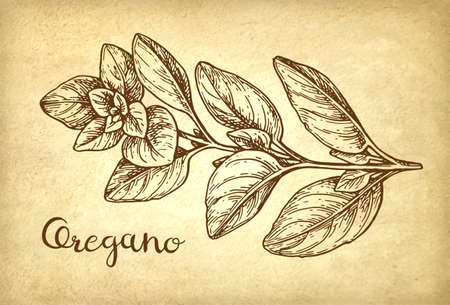 Oregano ink sketch. Фото со стока - 90581873